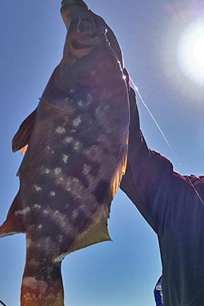 アコウ|ショアラバ・釣れる魚