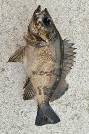 メバル|ショアラバ・釣れる魚
