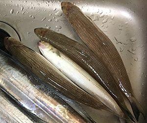 エソ|ショアラバ・釣れる魚