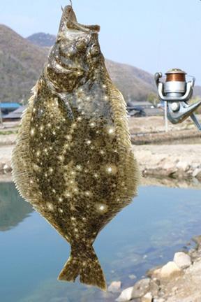 ヒラメ|ショアラバ・釣れる魚