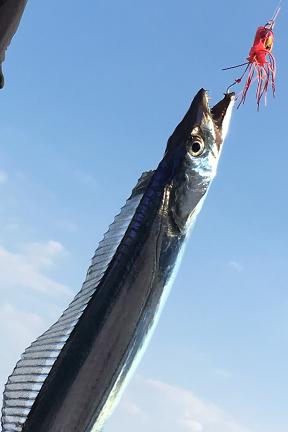 タチウオ|ショアラバ・釣れる魚