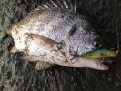 チニングポッパーの動かし方とラインなど釣り方