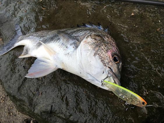 チニング秋の釣果速報