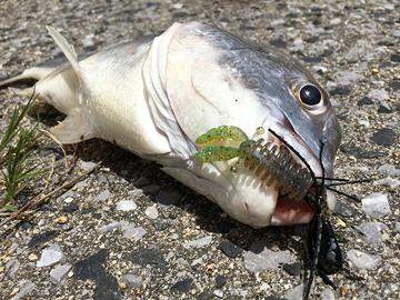 チニング釣り方ジグヘッド