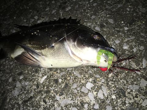 チニング春の釣果