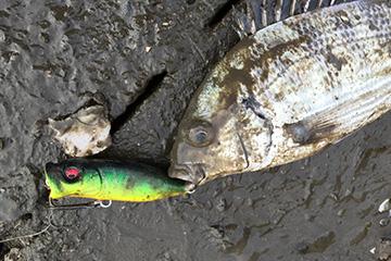 チニングポッパー釣果画像