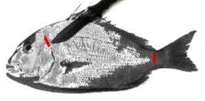 チヌ(黒鯛)料理の締める箇所