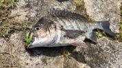チニングのリアクションバイトの釣り方