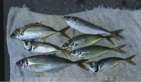 アジ・冬に釣れる魚
