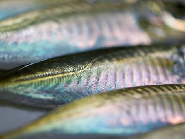 春に釣れるアジのサイズ画像