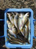夏アジング大漁画像