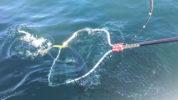 魚のランディング瞬間タモ画像