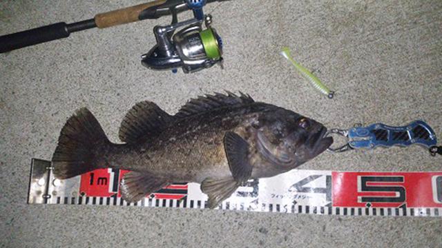 ライトジギングで釣れるクロソイ画像