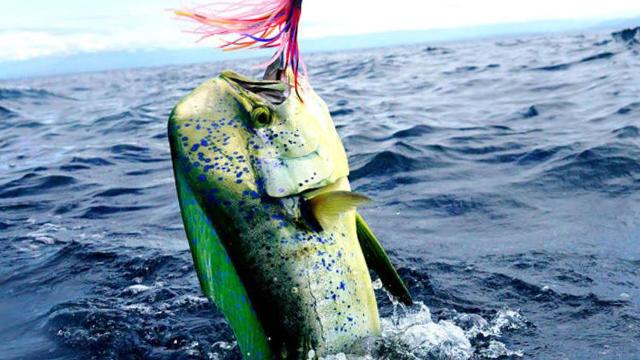 ライトジギングで釣れるシイラ画像