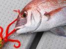 集魚ネクタイで釣れた真鯛画像