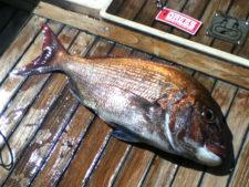 タイラバで釣る真鯛の生態