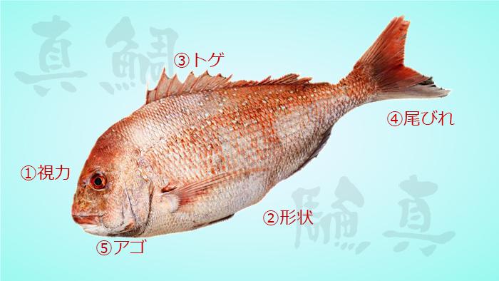 真鯛生態特徴図解画像