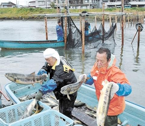 気仙沼で再開したサケ定置網漁