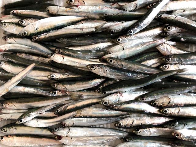 タイラバ真鯛のベイトの小魚画像