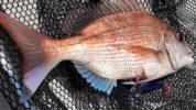 タイラバよりも真鯛を釣る戦術