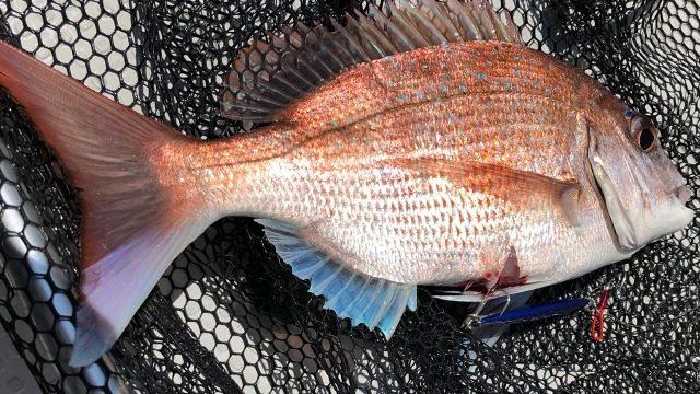 タイラバよりも真鯛を釣るインチク画像