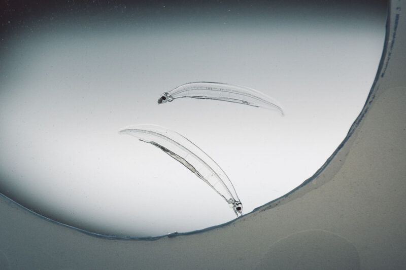 ニホンウナギの人工ふ化画像