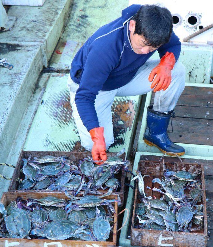 ガザミ(渡り蟹 )画像