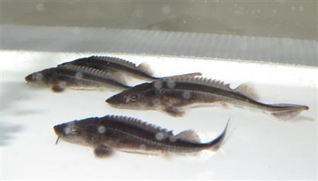 養殖チョウザメ画像