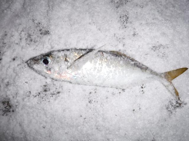 冬アジング画像