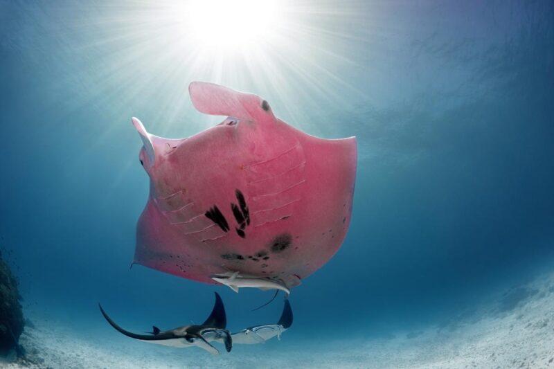 ピンクのマンタ