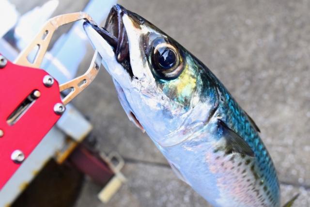 サバ|アジングで釣れる魚