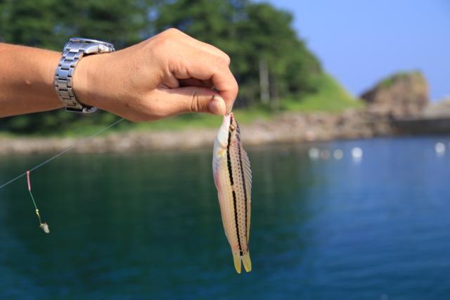 ベラ|アジングで釣れる魚
