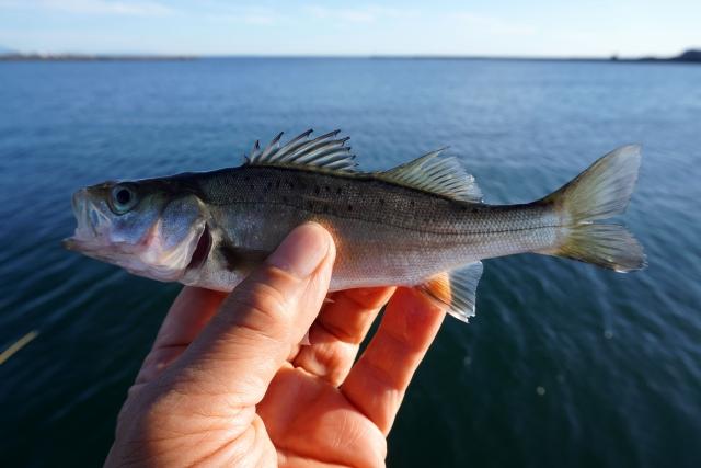 セイゴ|アジングで釣れる魚