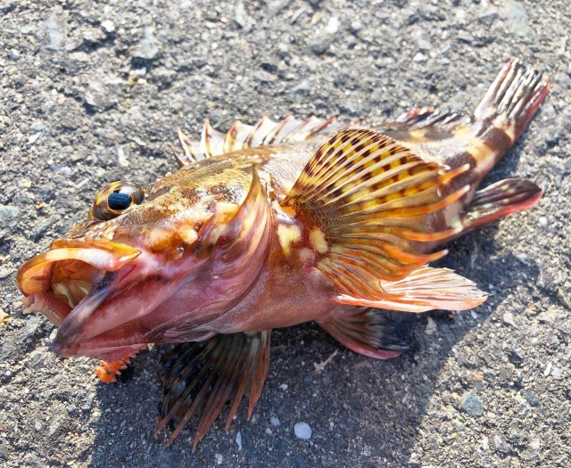 アジングで釣れるカサゴ