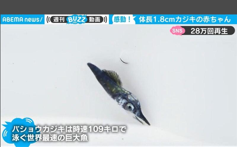 カジキの稚魚