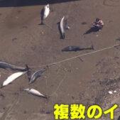 9頭のイルカが河口に打ち上げられる静岡県!地震との関係はある?ない?どっち?
