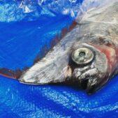 春に2,3回捕獲された謎深い深海魚アカナマダの生態富山県
