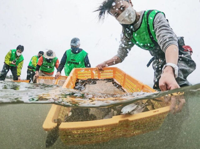 ヒラメ稚魚放流