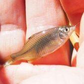 タナゴ釣りの人気沸騰中!江戸前の粋な釣りの魅力
