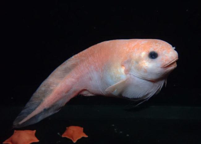 新種の深海魚