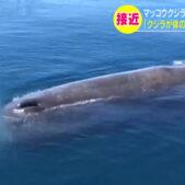 ホエールウォッチングで船の真横にマッコウクジラあらわる!