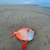砂浜に重さ45キロのアカマンボウが漂着!米西部オレゴン州の海岸
