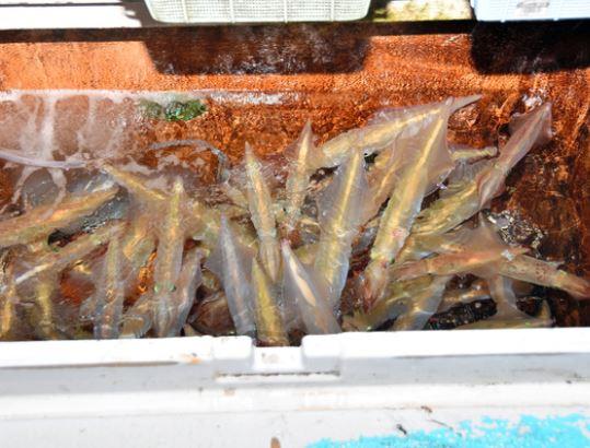 漁船の水槽で泳ぐ釣れたケンサキイカ