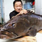 「クエの町」和歌山県日高町の民宿に今季初幻の高級魚天然クエが入荷