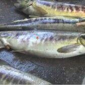 今シーズン初!気仙沼大川でサケ漁スタートも初日は震災後最も少なく不漁!宮城県