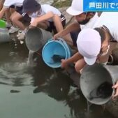 今年もまた2000匹のウナギの稚魚が放流される!30年続く広島県福山市芦田川